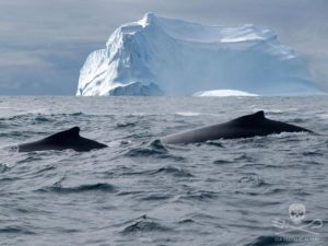 Be vegan! Whales in the Antarctic Sea